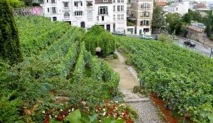 Les fameuses vignes de Montmartre...